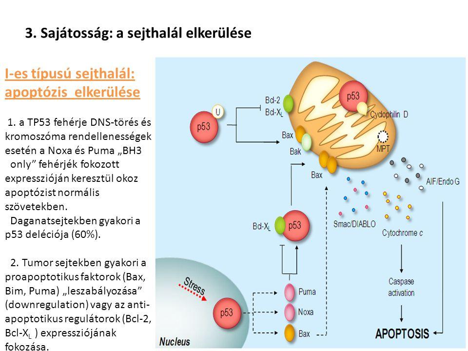 3. Sajátosság: a sejthalál elkerülése I-es típusú sejthalál: apoptózis elkerülése 1. a TP53 fehérje DNS-törés és kromoszóma rendellenességek esetén a