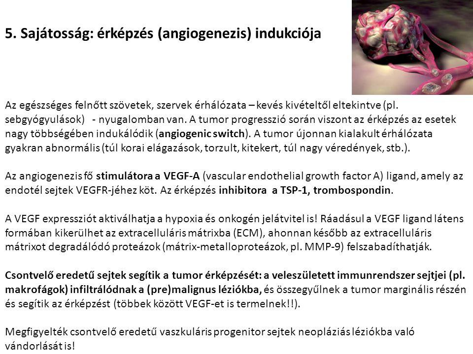 5. Sajátosság: érképzés (angiogenezis) indukciója Az egészséges felnőtt szövetek, szervek érhálózata – kevés kivételtől eltekintve (pl. sebgyógyulások