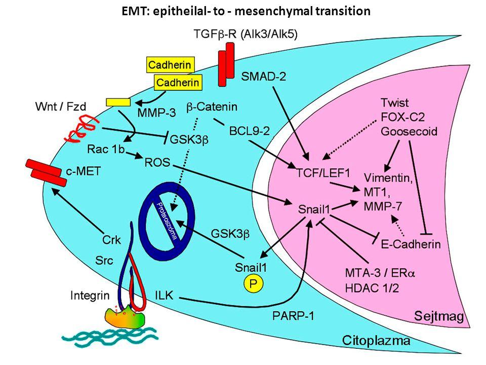 EMT: epitheilal- to - mesenchymal transition