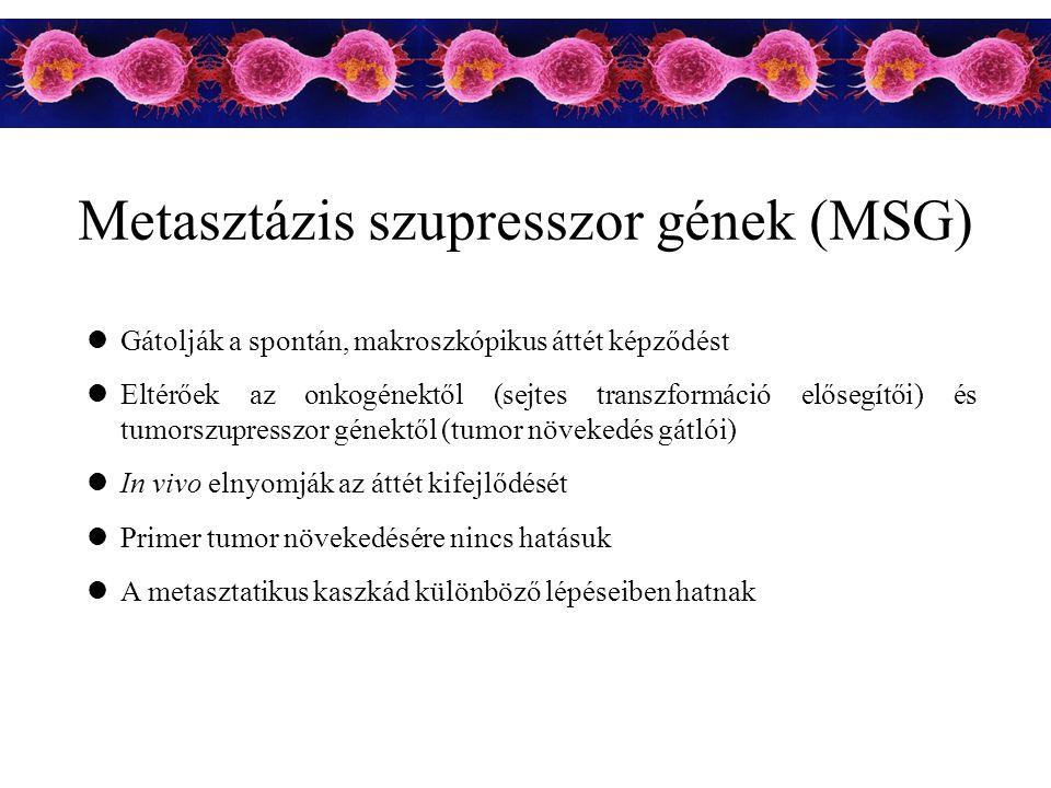 Metasztázis szupresszor gének (MSG) Gátolják a spontán, makroszkópikus áttét képződést Eltérőek az onkogénektől (sejtes transzformáció elősegítői) és