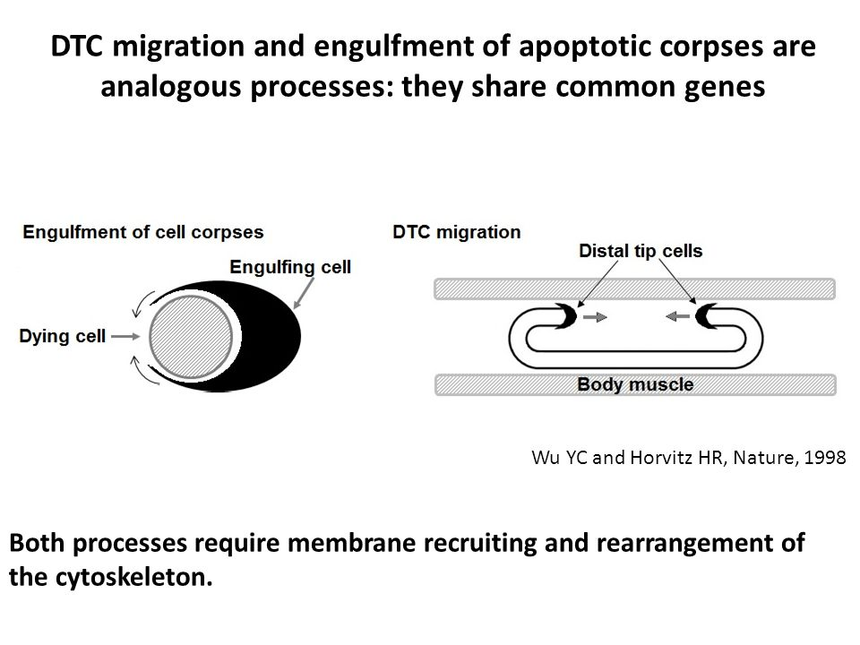 DTC migration and engulfment of apoptotic corpses are analogous processes: they share common genes Wu YC and Horvitz HR, Nature, 1998 Both processes r