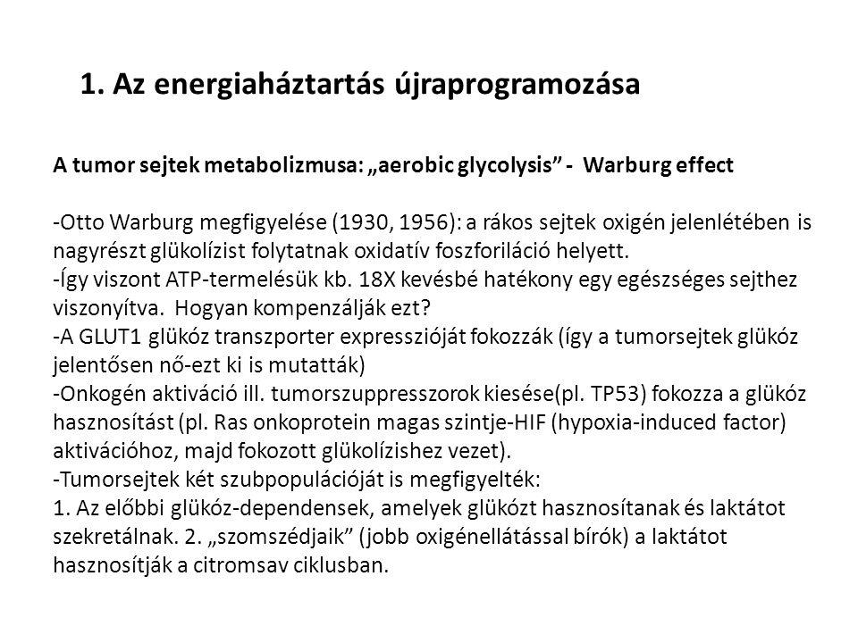 """1. Az energiaháztartás újraprogramozása A tumor sejtek metabolizmusa: """"aerobic glycolysis"""" - Warburg effect -Otto Warburg megfigyelése (1930, 1956): a"""