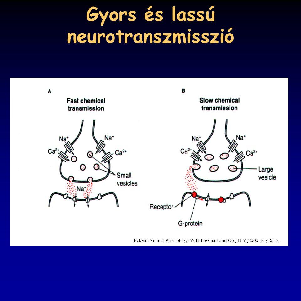 Gyors és lassú neurotranszmisszió Eckert: Animal Physiology, W.H.Freeman and Co., N.Y.,2000, Fig. 6-12.