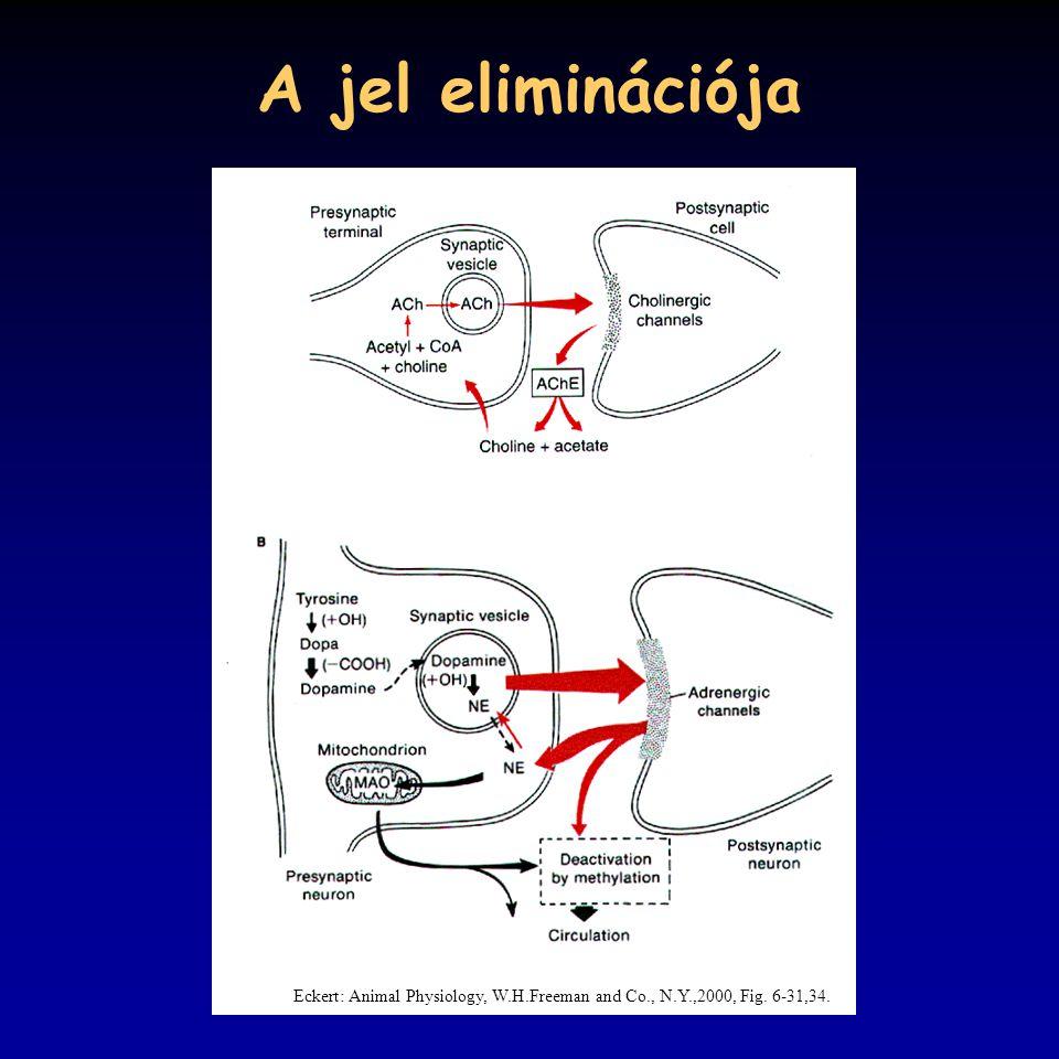 A jel eliminációja Eckert: Animal Physiology, W.H.Freeman and Co., N.Y.,2000, Fig. 6-31,34.