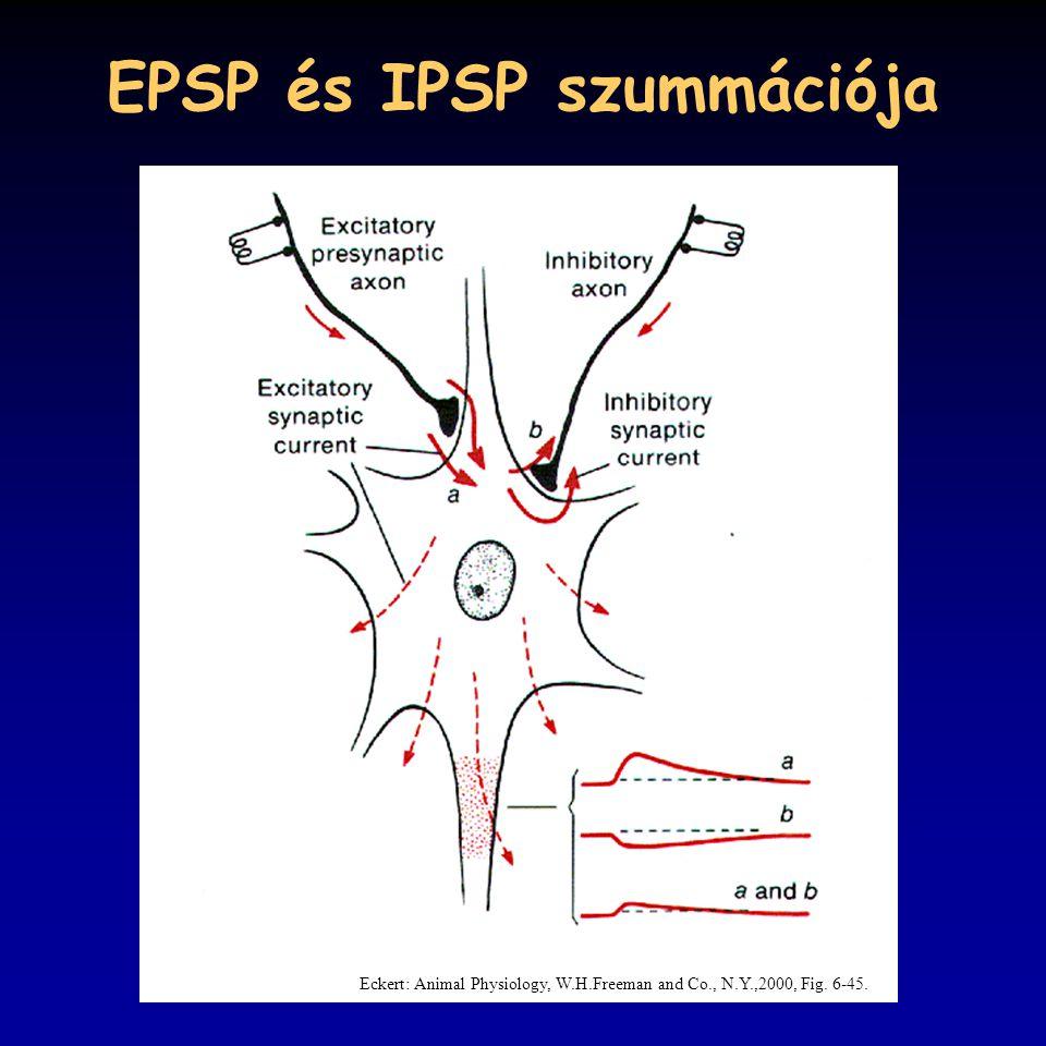 EPSP és IPSP szummációja Eckert: Animal Physiology, W.H.Freeman and Co., N.Y.,2000, Fig. 6-45.