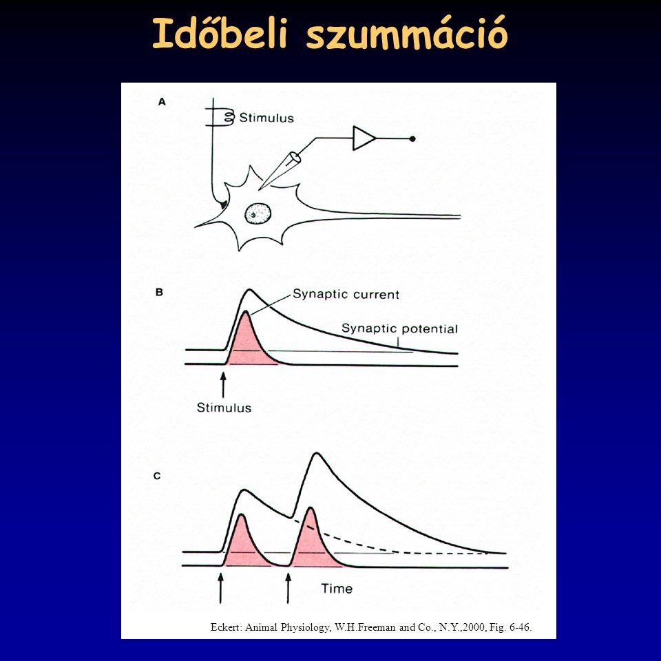 Időbeli szummáció Eckert: Animal Physiology, W.H.Freeman and Co., N.Y.,2000, Fig. 6-46.