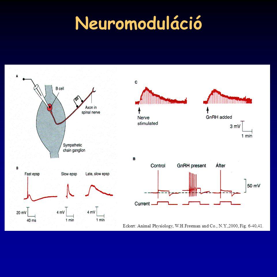 Neuromoduláció Eckert: Animal Physiology, W.H.Freeman and Co., N.Y.,2000, Fig. 6-40,41.