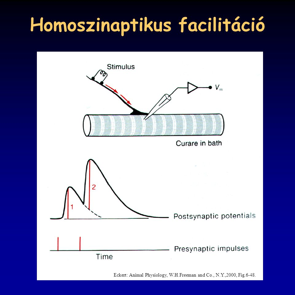 Homoszinaptikus facilitáció Eckert: Animal Physiology, W.H.Freeman and Co., N.Y.,2000, Fig.6-48.