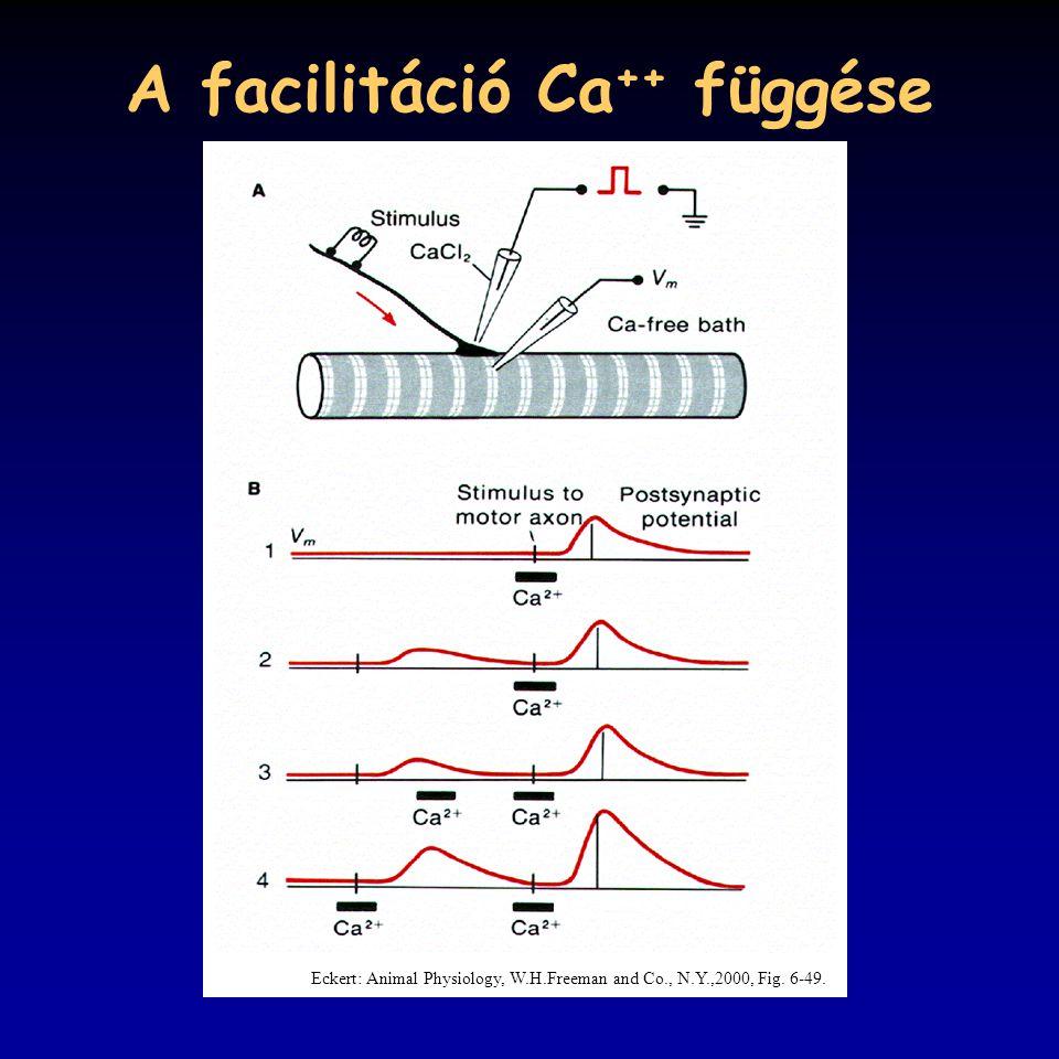 A facilitáció Ca ++ függése Eckert: Animal Physiology, W.H.Freeman and Co., N.Y.,2000, Fig. 6-49.