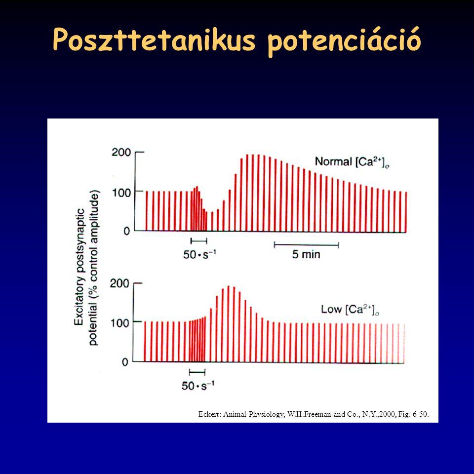 Poszttetanikus potenciáció Eckert: Animal Physiology, W.H.Freeman and Co., N.Y.,2000, Fig. 6-50.