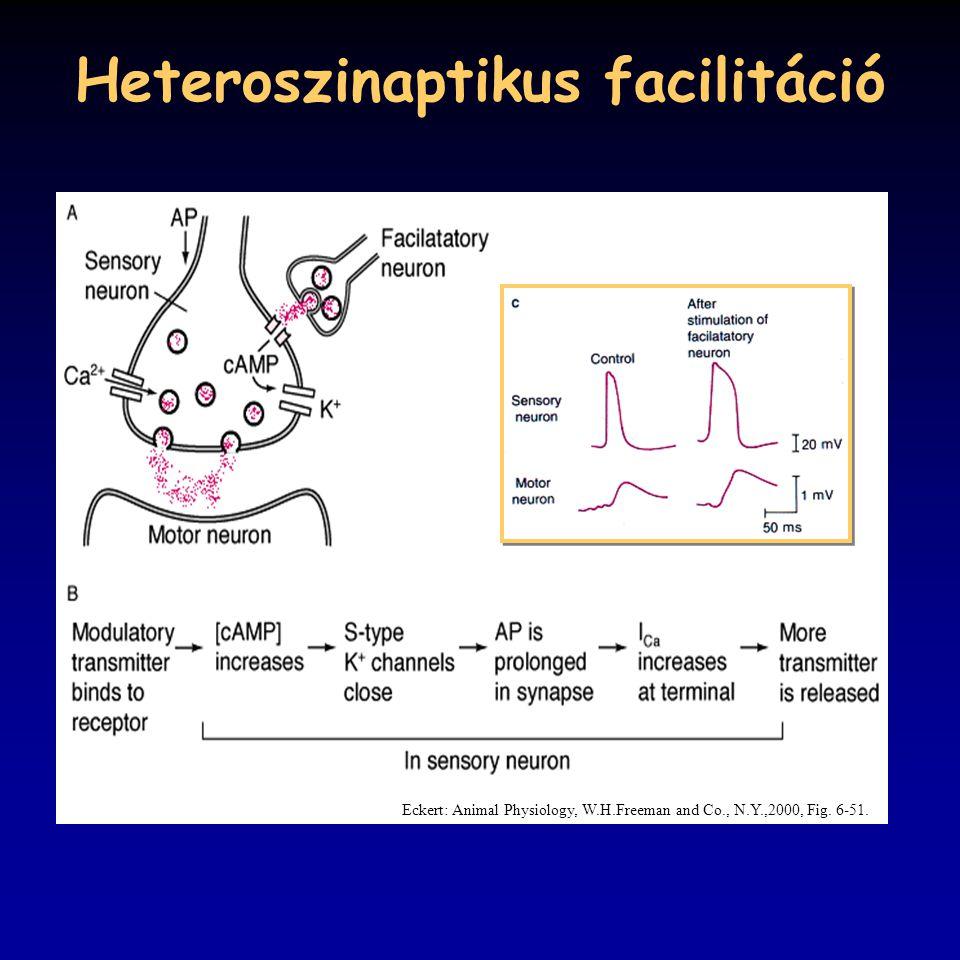 Heteroszinaptikus facilitáció Eckert: Animal Physiology, W.H.Freeman and Co., N.Y.,2000, Fig. 6-51.