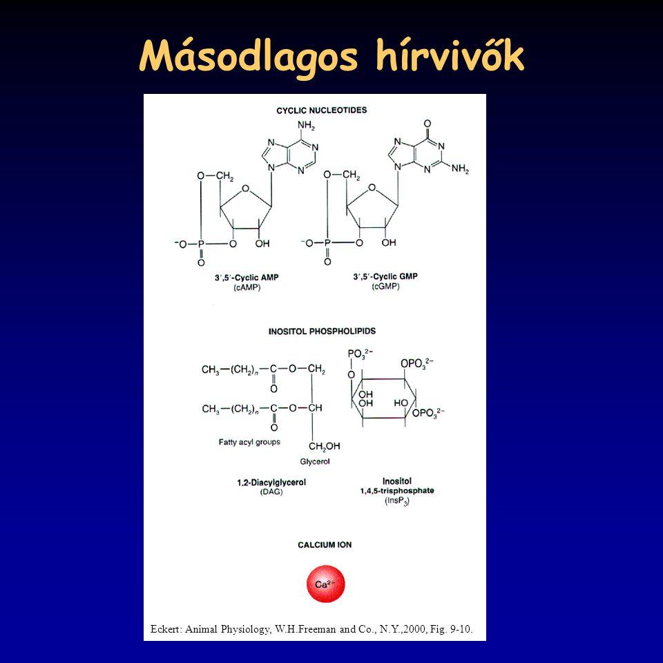 Másodlagos hírvivők Eckert: Animal Physiology, W.H.Freeman and Co., N.Y.,2000, Fig. 9-10.