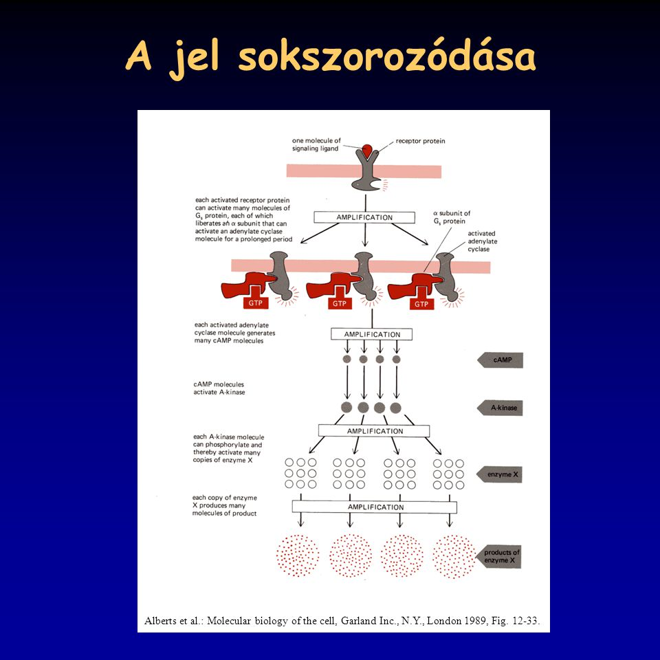 A jel sokszorozódása Alberts et al.: Molecular biology of the cell, Garland Inc., N.Y., London 1989, Fig. 12-33.