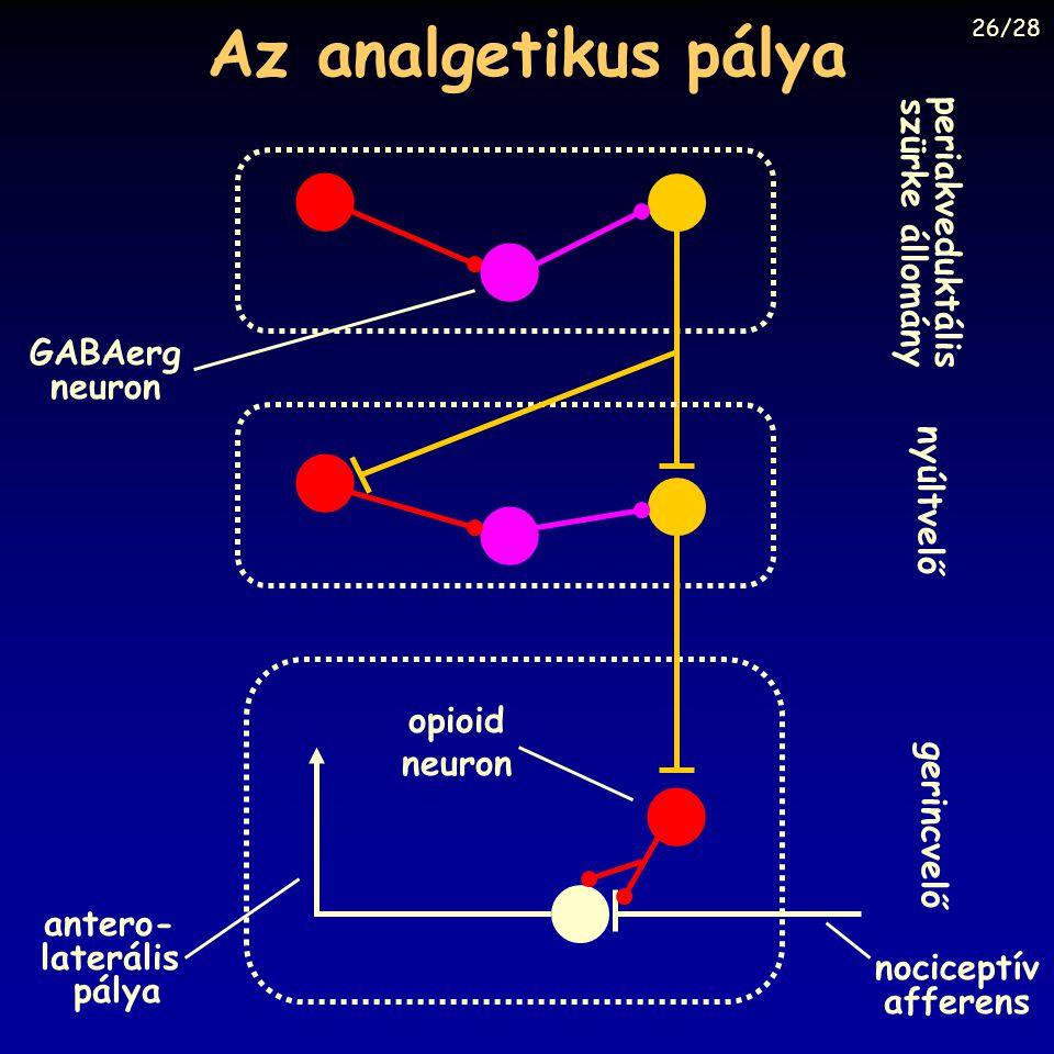 Az analgetikus pálya gerincvelő periakveduktális szürke állomány nyúltvelő antero- laterális pálya nociceptív afferens opioid neuron GABAerg neuron 26
