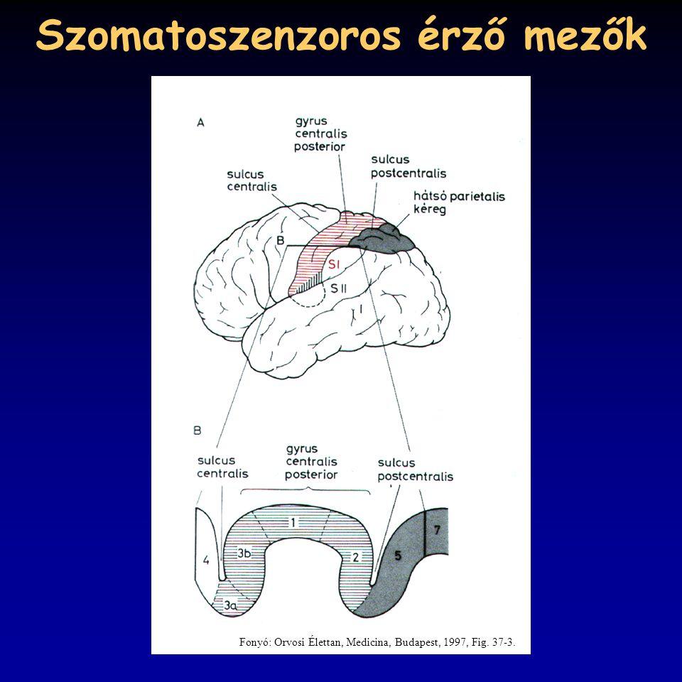 Szomatoszenzoros érző mezők Fonyó: Orvosi Élettan, Medicina, Budapest, 1997, Fig. 37-3.