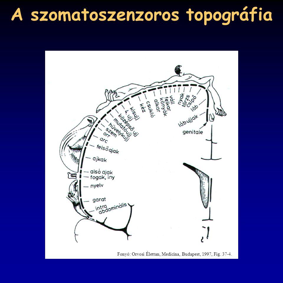 A szomatoszenzoros topográfia Fonyó: Orvosi Élettan, Medicina, Budapest, 1997, Fig. 37-4.
