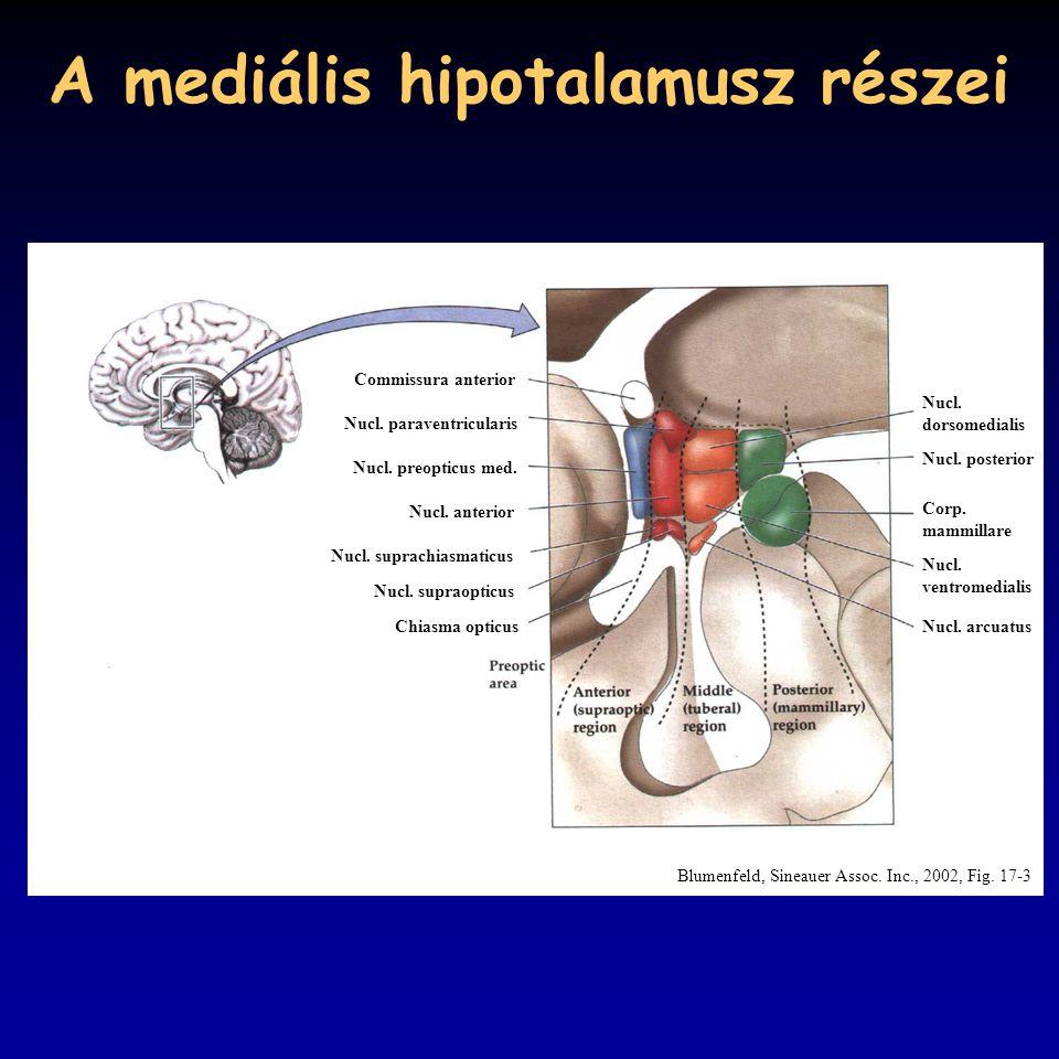 A mediális hipotalamusz részei Commissura anterior Nucl.
