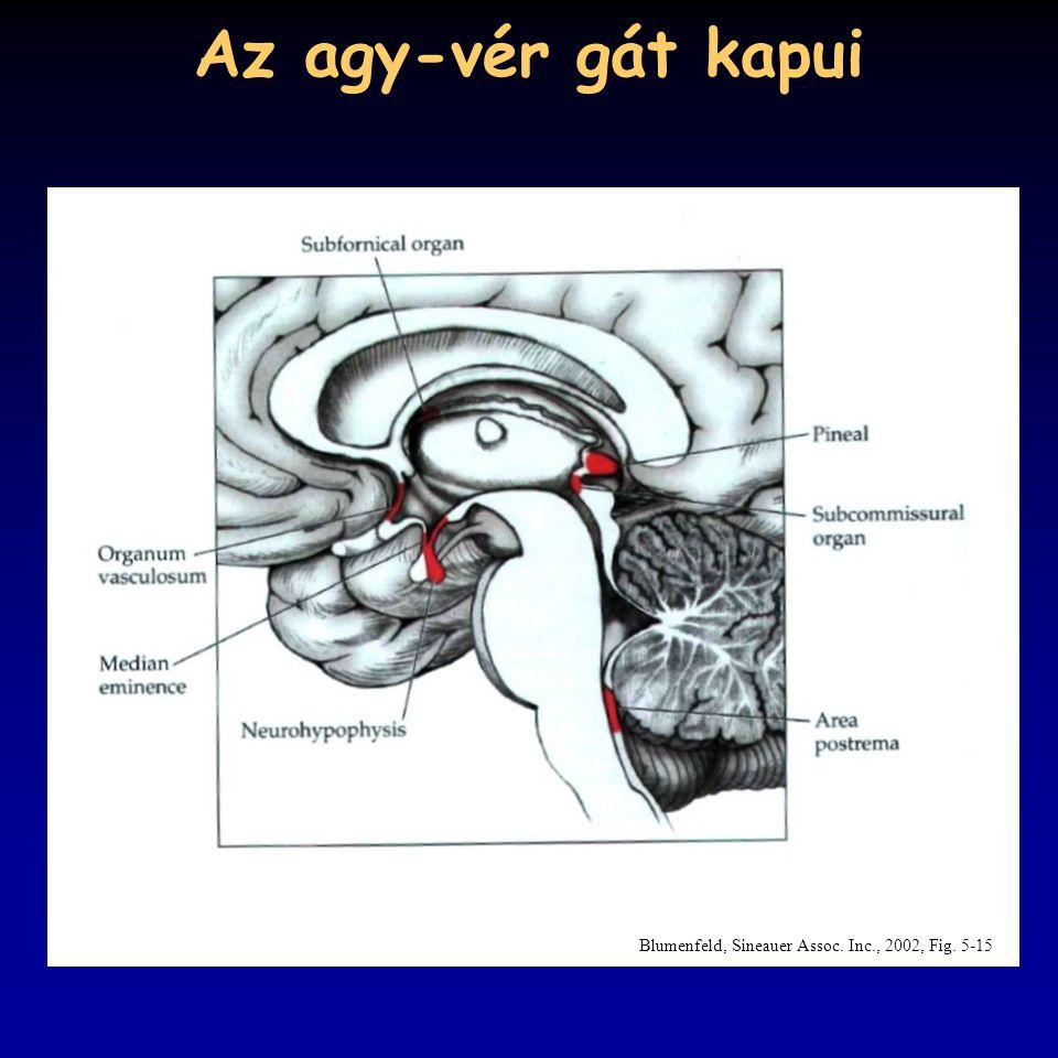Az agy-vér gát kapui Blumenfeld, Sineauer Assoc. Inc., 2002, Fig. 5-15