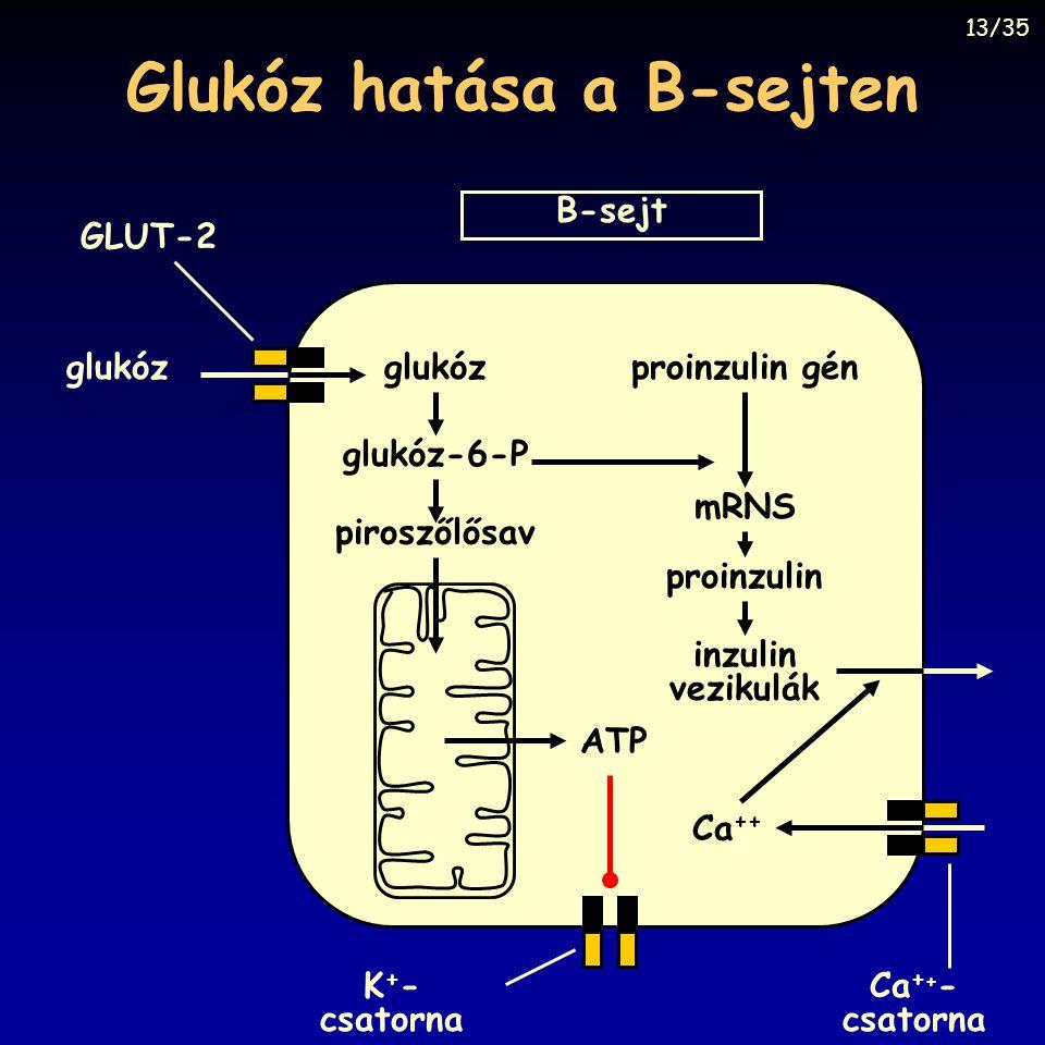 Glukóz hatása a B-sejten B-sejt glukóz GLUT-2 ATP K + - csatorna Ca + + - csatorna Ca ++ piroszőlősav glukóz-6-P proinzulin gén mRNS proinzulin inzuli