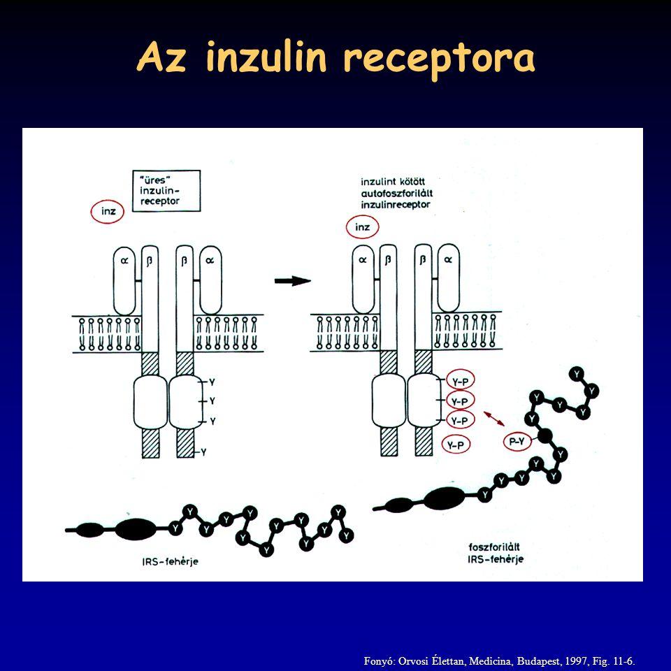 Az inzulin receptora Fonyó: Orvosi Élettan, Medicina, Budapest, 1997, Fig. 11-6.