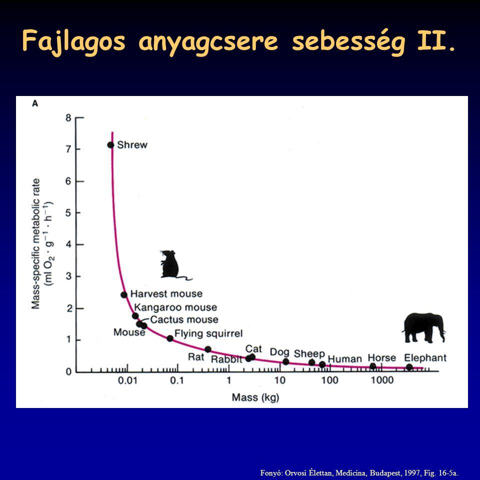 Fajlagos anyagcsere sebesség II. Fonyó: Orvosi Élettan, Medicina, Budapest, 1997, Fig. 16-5a.
