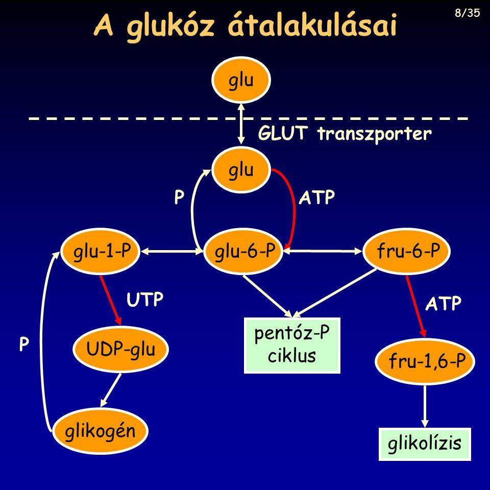 A glukóz átalakulásai glu glu-6-P ATPP GLUT transzporter glu-1-PUDP-glu UTP P glikogénfru-6-Pfru-1,6-P ATP pentóz-P ciklus glikolízis 8/35