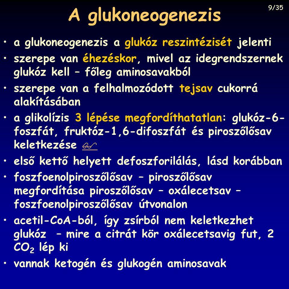 A glukoneogenezis a glukoneogenezis a glukóz reszintézisét jelenti szerepe van éhezéskor, mivel az idegrendszernek glukóz kell – főleg aminosavakból s