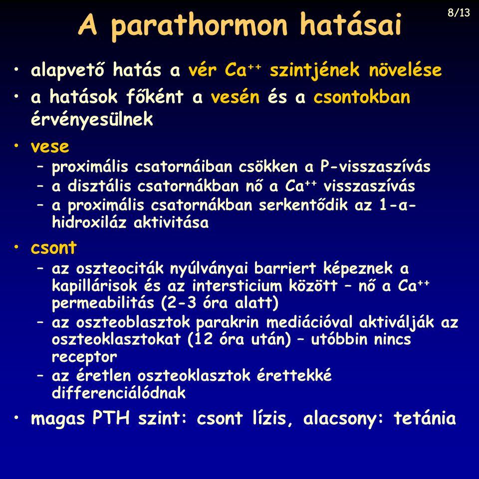 A parathormon hatásai alapvető hatás a vér Ca ++ szintjének növelése a hatások főként a vesén és a csontokban érvényesülnek vese –proximális csatornái