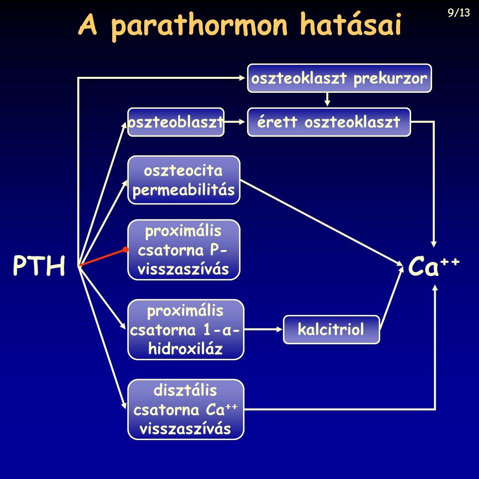 A parathormon hatásai oszteoblaszt oszteocita permeabilitás proximális csatorna P- visszaszívás proximális csatorna 1-α- hidroxiláz disztális csatorna
