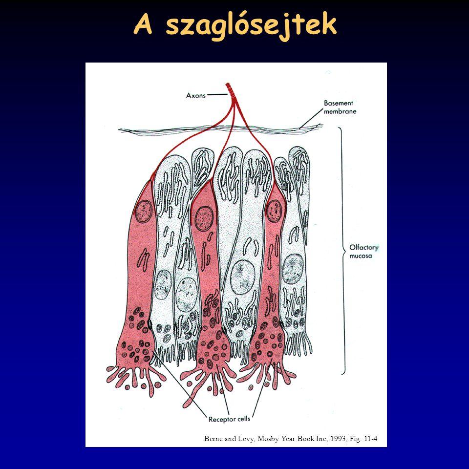A szaglósejtek Berne and Levy, Mosby Year Book Inc, 1993, Fig. 11-4