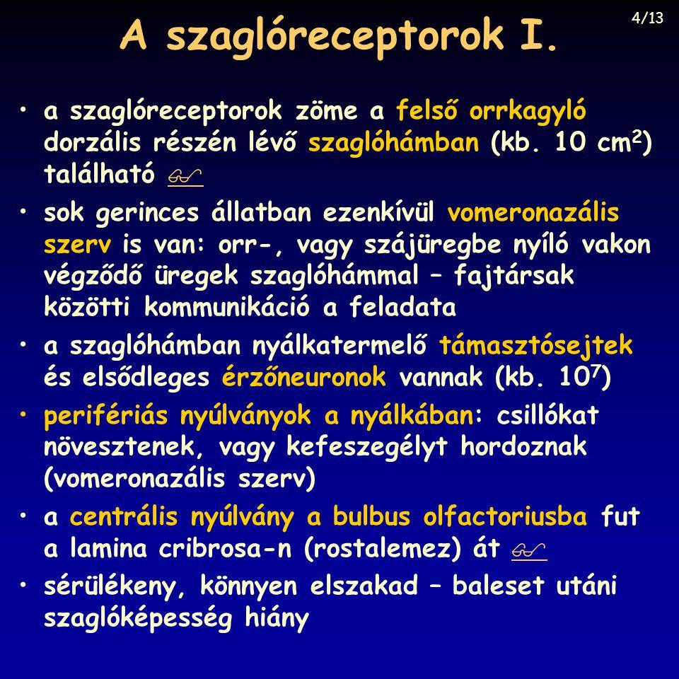 A szaglóreceptorok I.