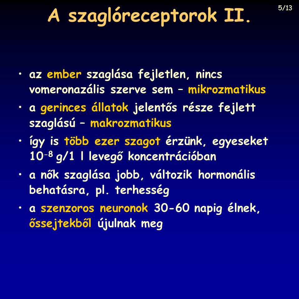 A szaglóreceptorok II.