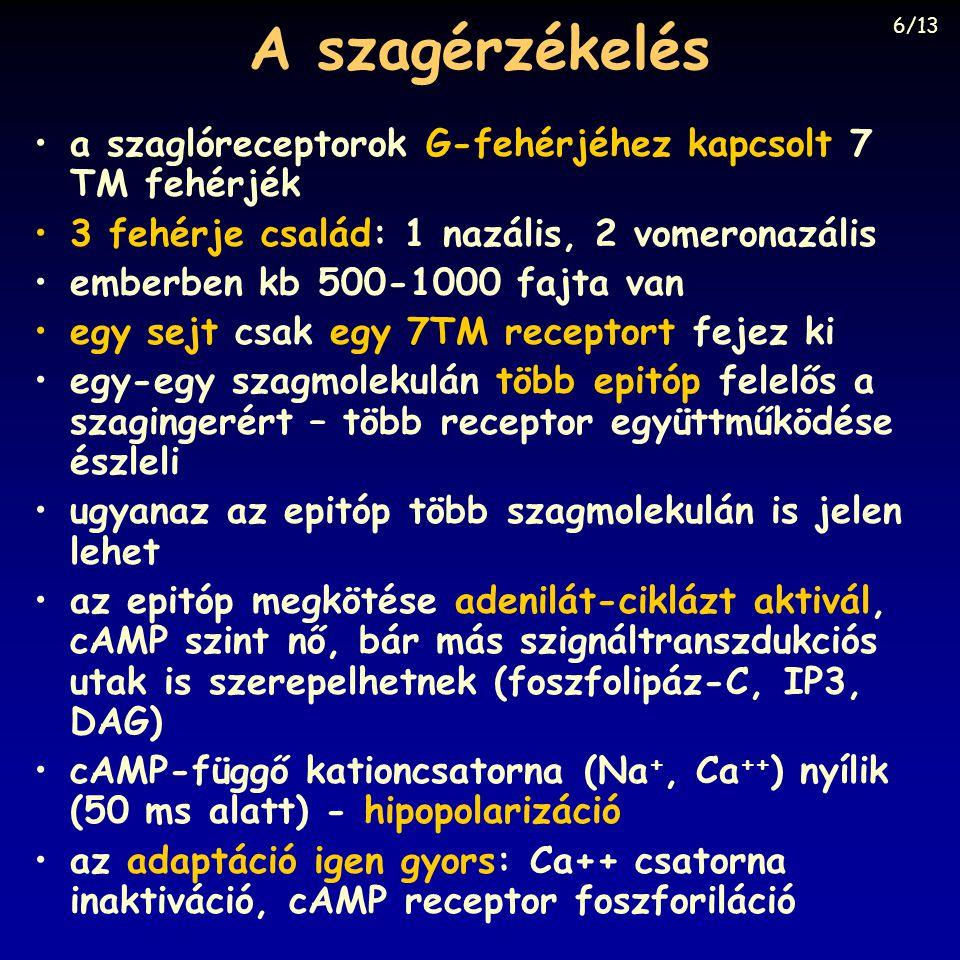 A szagérzékelés a szaglóreceptorok G-fehérjéhez kapcsolt 7 TM fehérjék 3 fehérje család: 1 nazális, 2 vomeronazális emberben kb 500-1000 fajta van egy