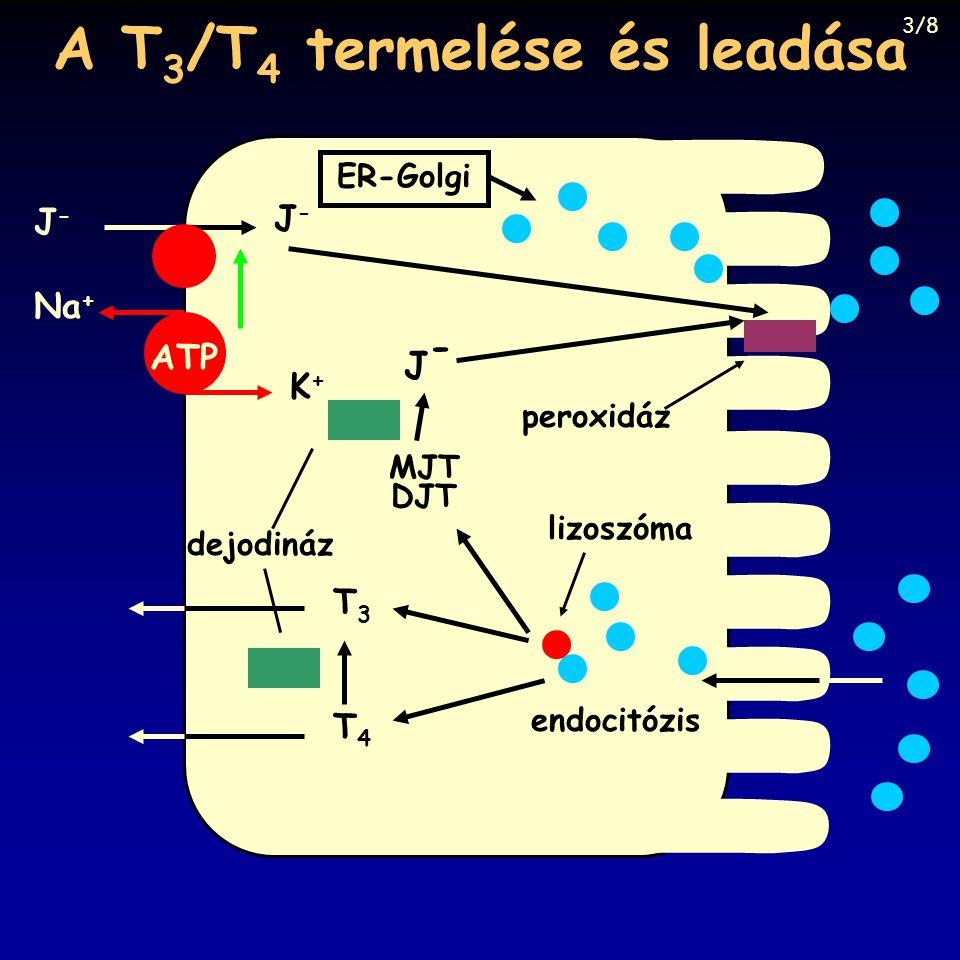A T 3 /T 4 termelése és leadása peroxidáz ER-Golgi endocitózis lizoszóma T4T4 T3T3 MJT DJT J-J- dejodináz J-J- J-J- Na + K+K+ ATP 3/8