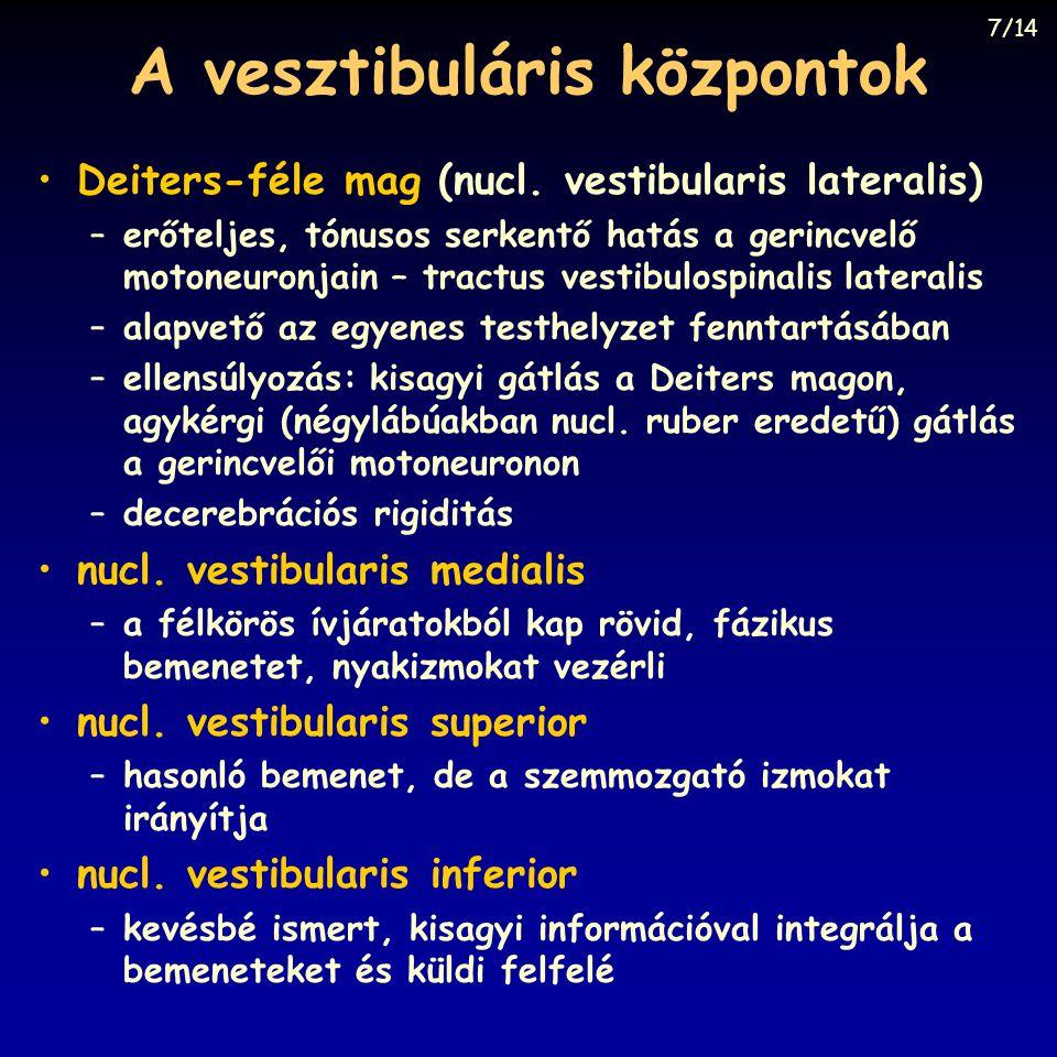 A vesztibuláris központok Deiters-féle mag (nucl. vestibularis lateralis) –erőteljes, tónusos serkentő hatás a gerincvelő motoneuronjain – tractus ves