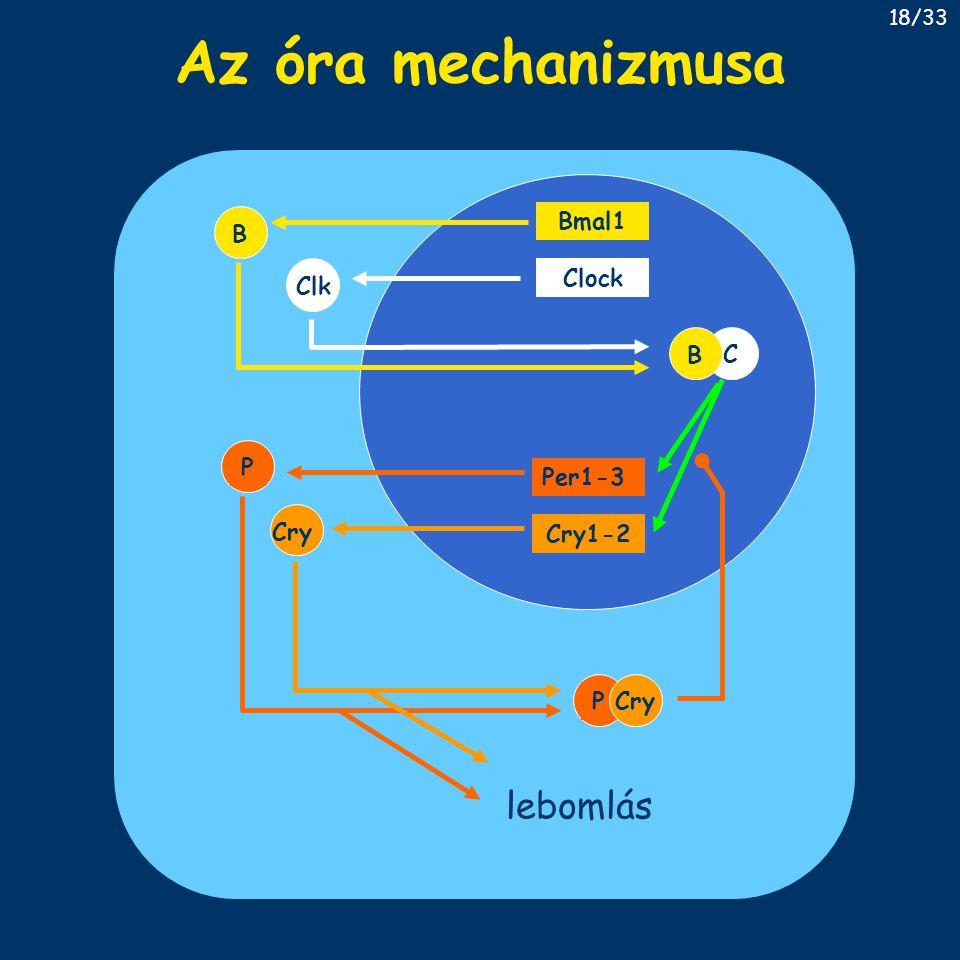 Az óra mechanizmusa Bmal1 Clock Per1-3 Cry1-2 B Cry ClkPC B PCry lebomlás 18/33