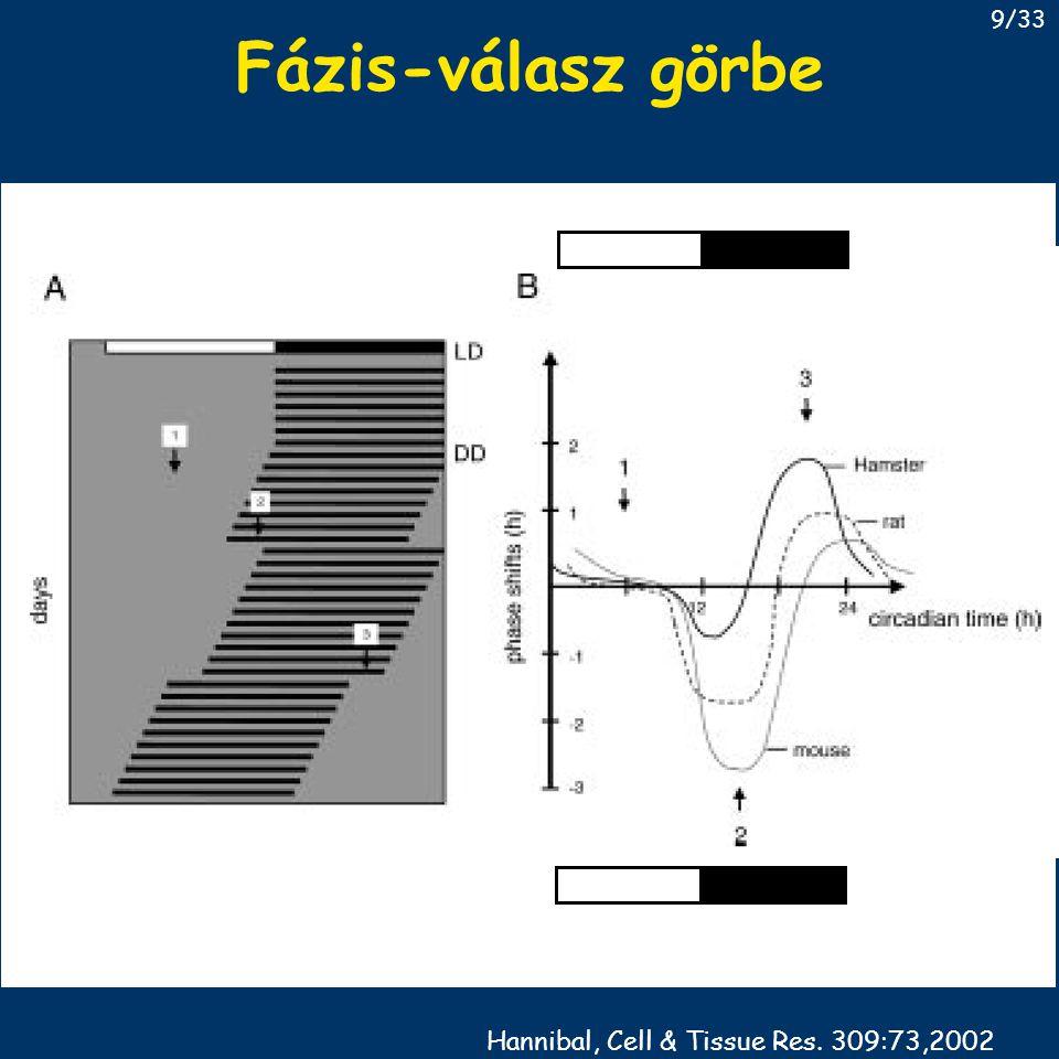 Az SCN kimenetei core shell SCN IGL PVN medial HT MPOA PVN, sPVN DMH, VMH endokrin sejtek CRF, TRH, GnRH vegetatív sejtek szimpatikus, paraszimpatikus integráló sejtek egyéb célpontok 30/33