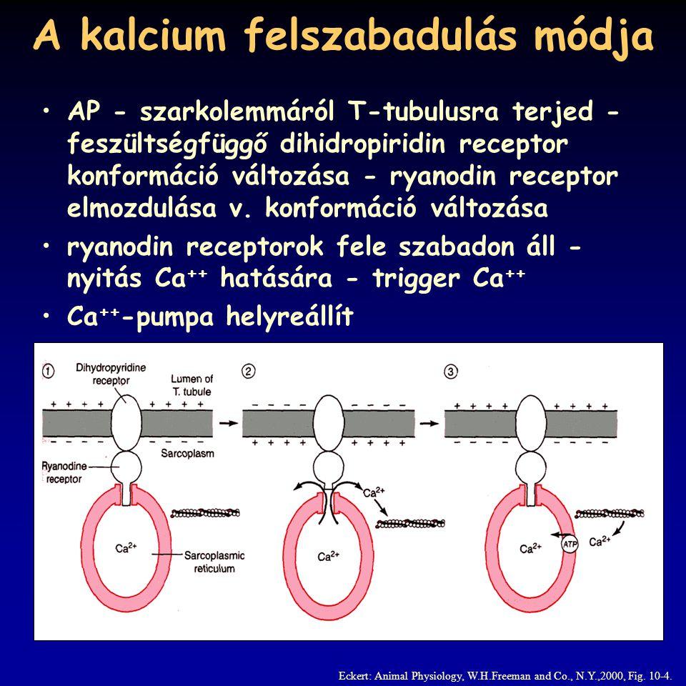 A kalcium felszabadulás módja Eckert: Animal Physiology, W.H.Freeman and Co., N.Y.,2000, Fig. 10-4. AP - szarkolemmáról T-tubulusra terjed - feszültsé
