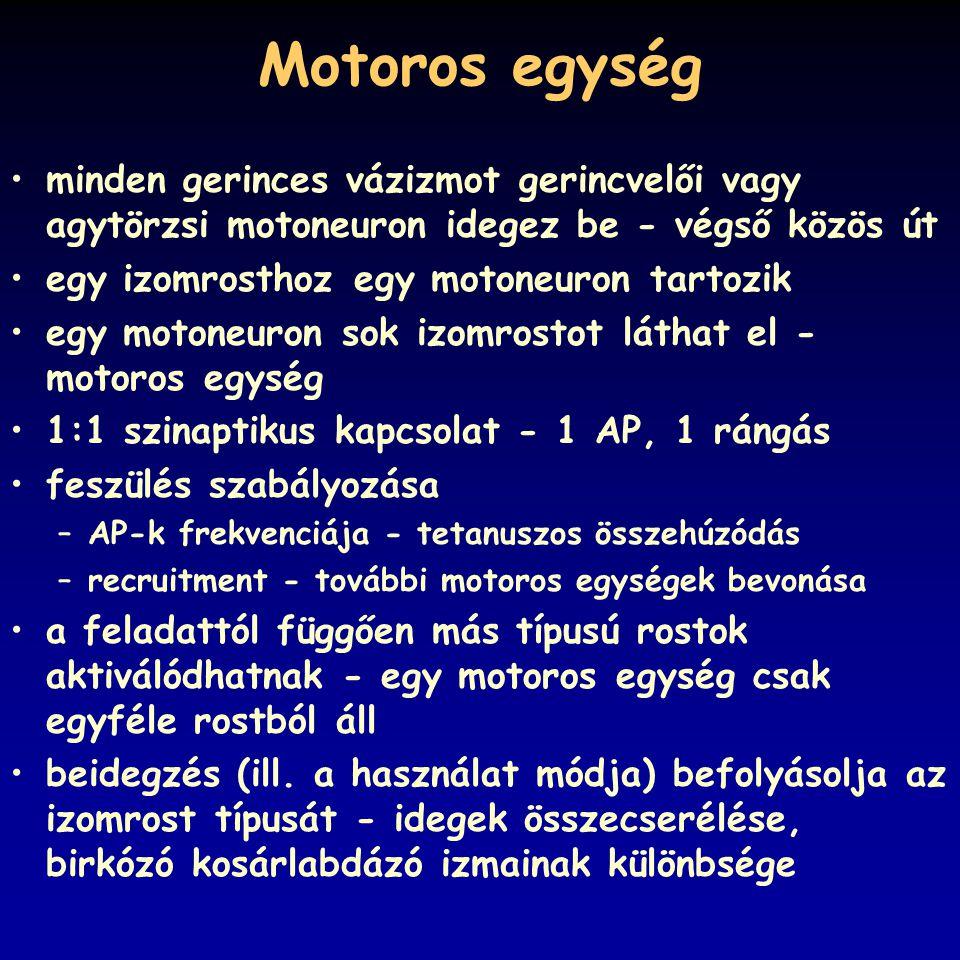 Motoros egység minden gerinces vázizmot gerincvelői vagy agytörzsi motoneuron idegez be - végső közös út egy izomrosthoz egy motoneuron tartozik egy m
