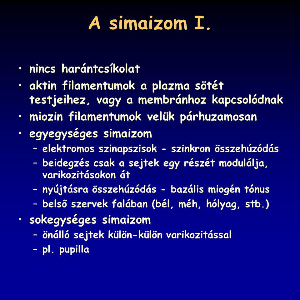 A simaizom I. nincs harántcsíkolat aktin filamentumok a plazma sötét testjeihez, vagy a membránhoz kapcsolódnak miozin filamentumok velük párhuzamosan
