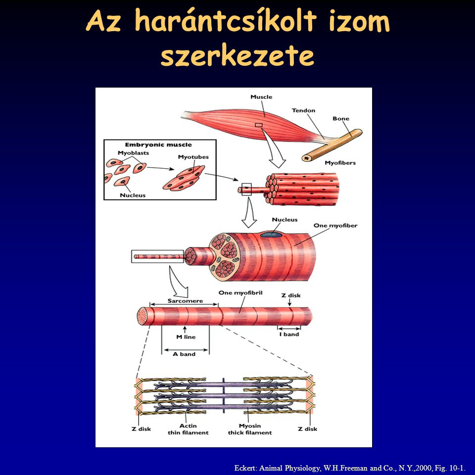 Az harántcsíkolt izom szerkezete Eckert: Animal Physiology, W.H.Freeman and Co., N.Y.,2000, Fig.
