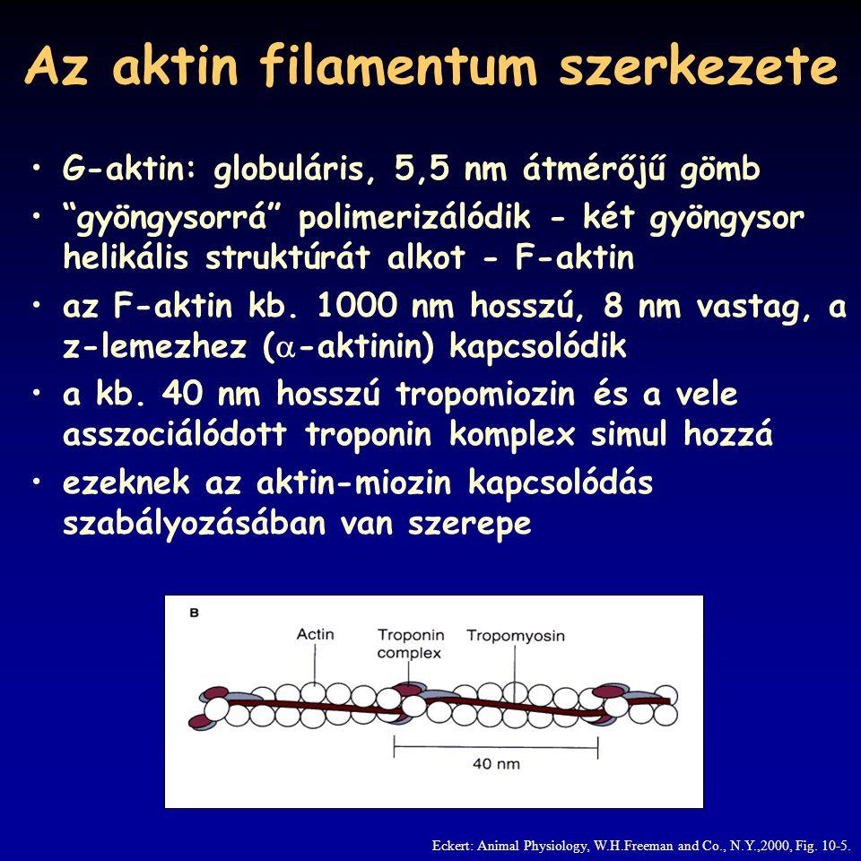 """Az aktin filamentum szerkezete G-aktin: globuláris, 5,5 nm átmérőjű gömb """"gyöngysorrá"""" polimerizálódik - két gyöngysor helikális struktúrát alkot - F-"""
