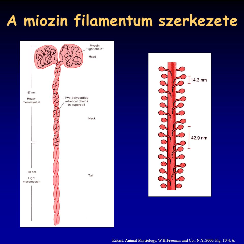 A miozin filamentum szerkezete Eckert: Animal Physiology, W.H.Freeman and Co., N.Y.,2000, Fig.