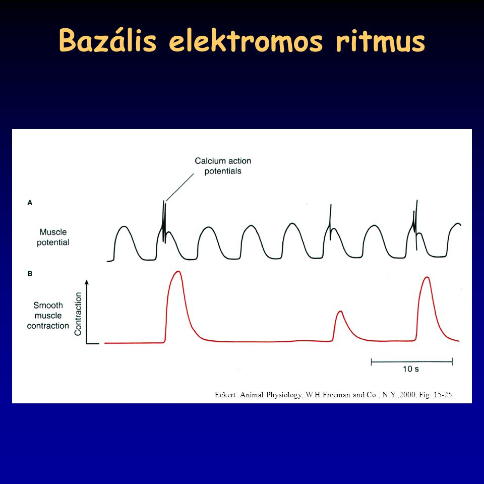 Bazális elektromos ritmus Eckert: Animal Physiology, W.H.Freeman and Co., N.Y.,2000, Fig. 15-25.