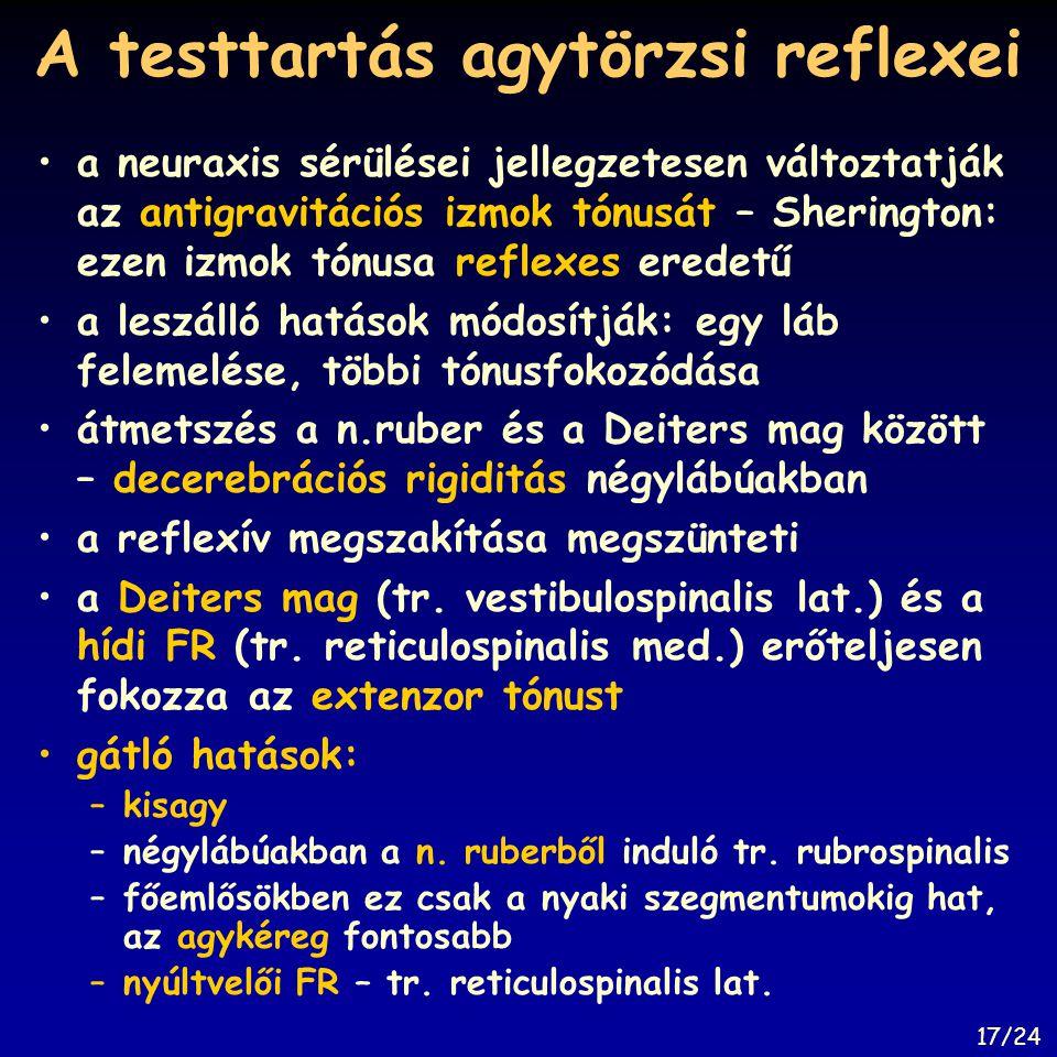 A testtartás agytörzsi reflexei a neuraxis sérülései jellegzetesen változtatják az antigravitációs izmok tónusát – Sherington: ezen izmok tónusa refle