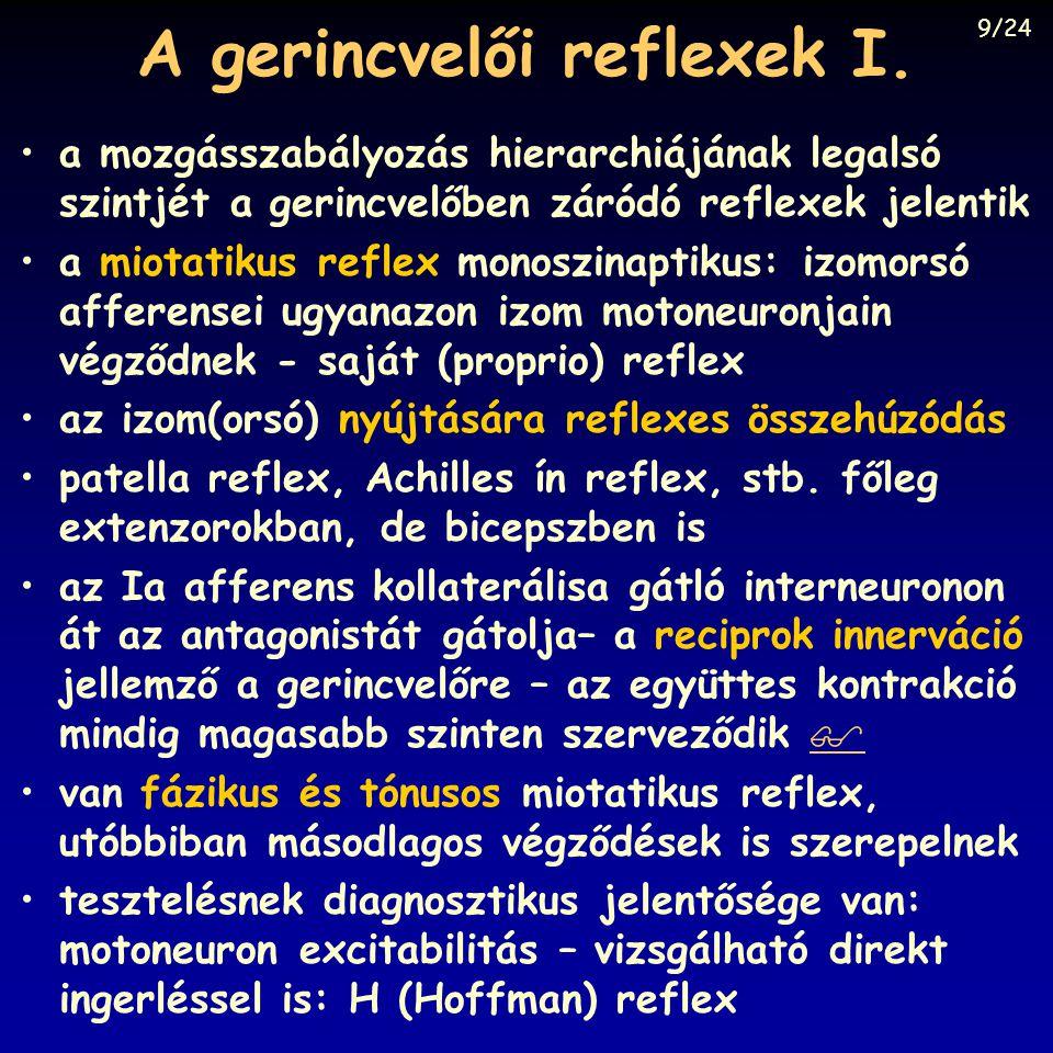 A gerincvelői reflexek I. a mozgásszabályozás hierarchiájának legalsó szintjét a gerincvelőben záródó reflexek jelentik a miotatikus reflex monoszinap