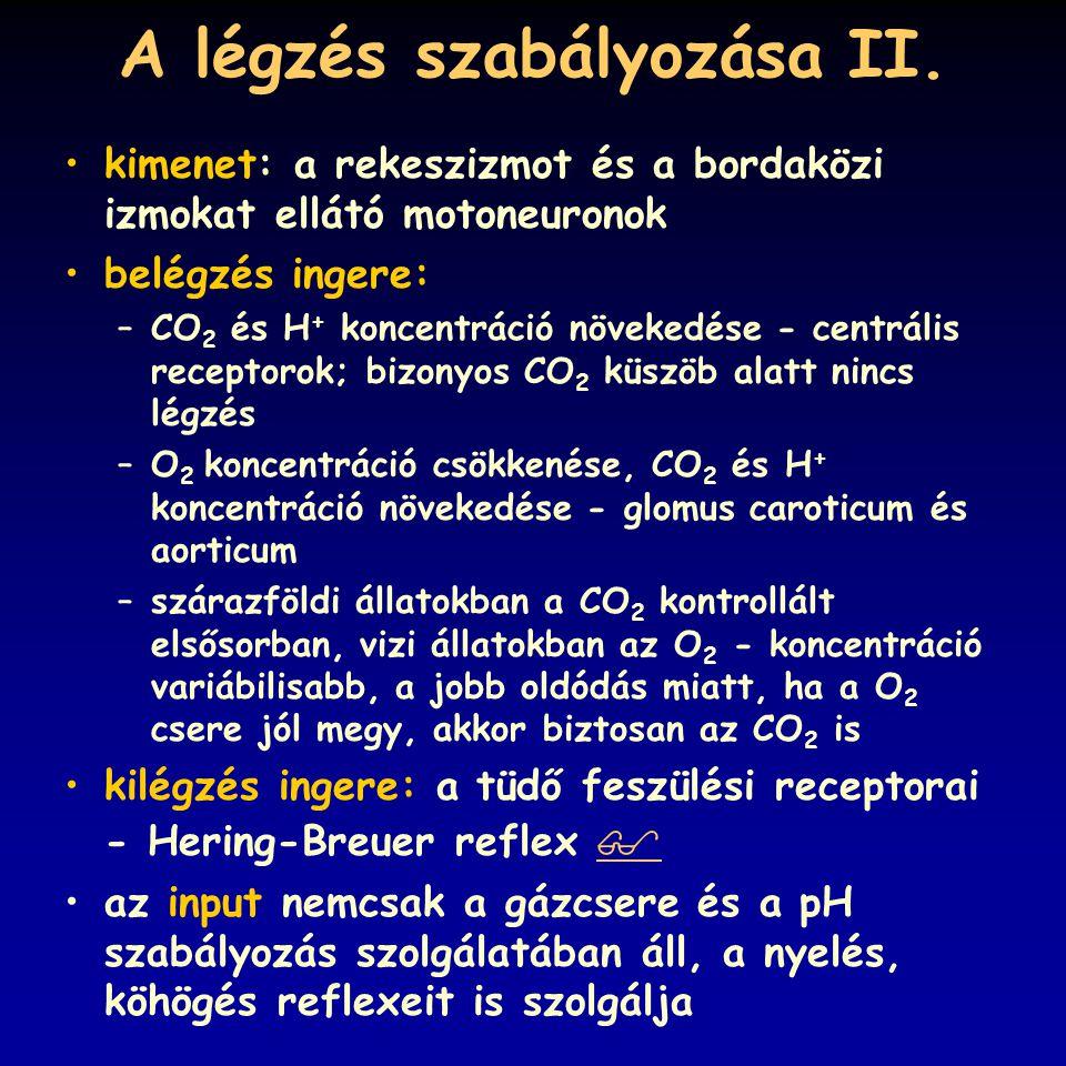 A légzés szabályozása II. kimenet: a rekeszizmot és a bordaközi izmokat ellátó motoneuronok belégzés ingere: –CO 2 és H + koncentráció növekedése - ce