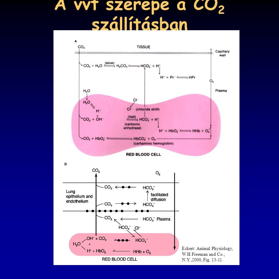 A vvt szerepe a CO 2 szállításban Eckert: Animal Physiology, W.H.Freeman and Co., N.Y.,2000, Fig. 13-11.