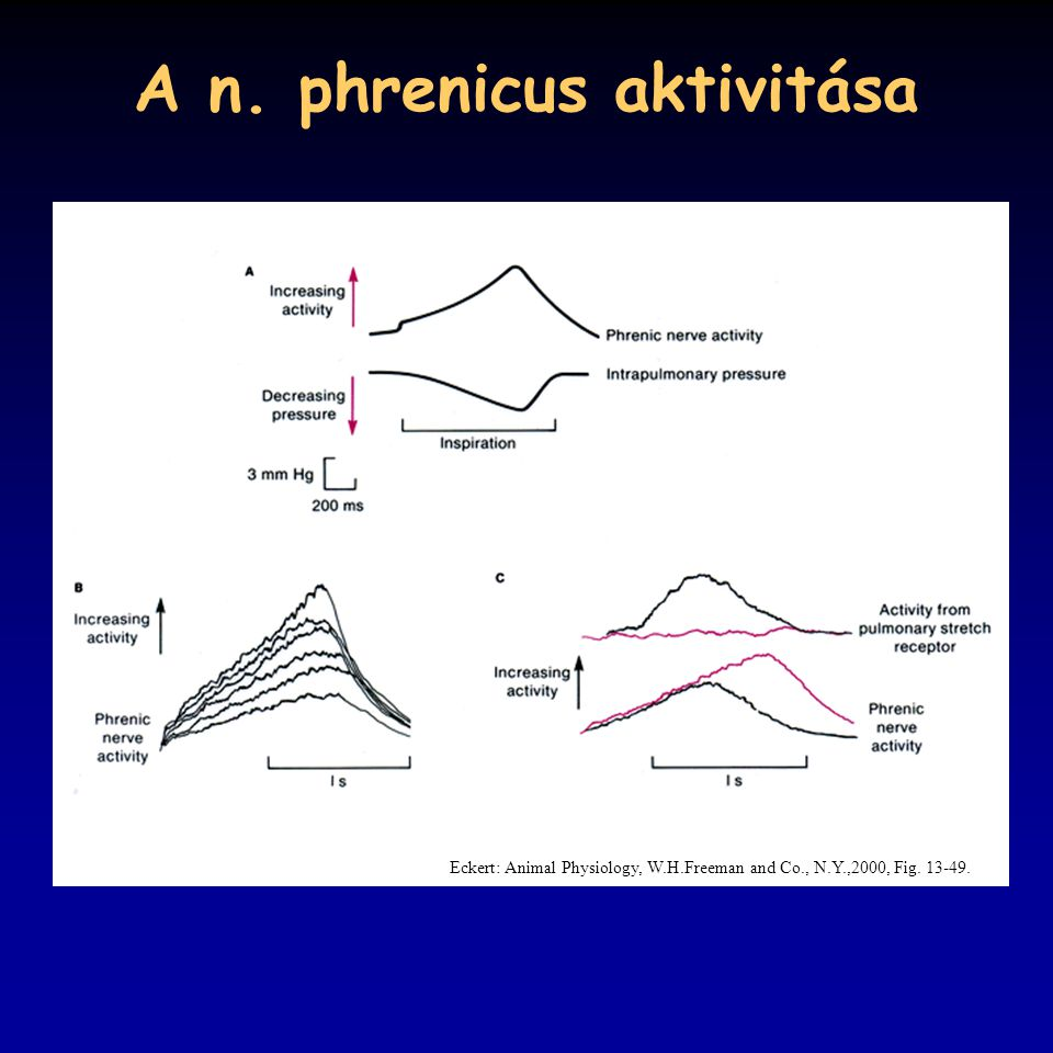 A n. phrenicus aktivitása Eckert: Animal Physiology, W.H.Freeman and Co., N.Y.,2000, Fig. 13-49.