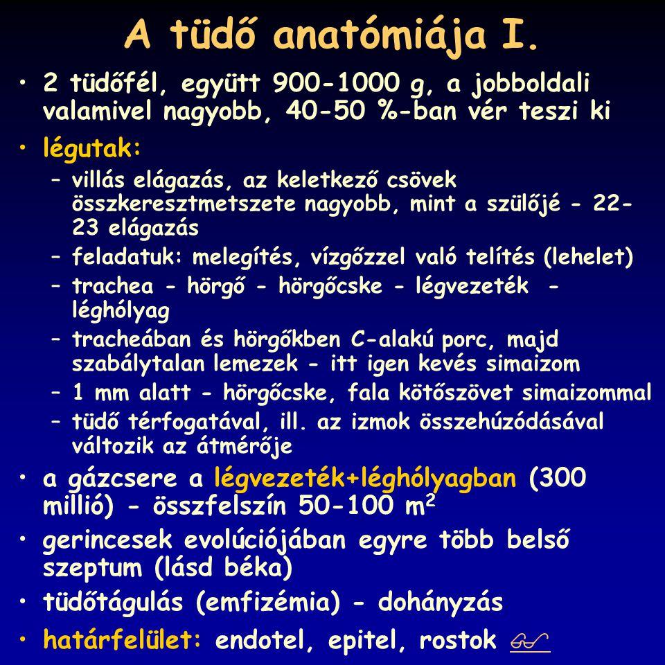 A tüdő anatómiája II.
